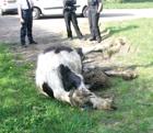 JUN13 WHW Dead horse