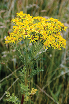 MAR14 Paddocks ragwort