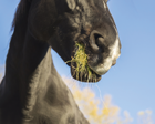 APR14 Nutrition horse chewing