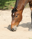 AUG14 VetWatch Sand Colic